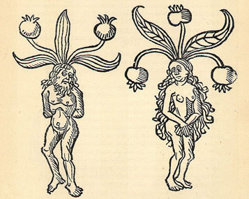 alven male-female mandrake